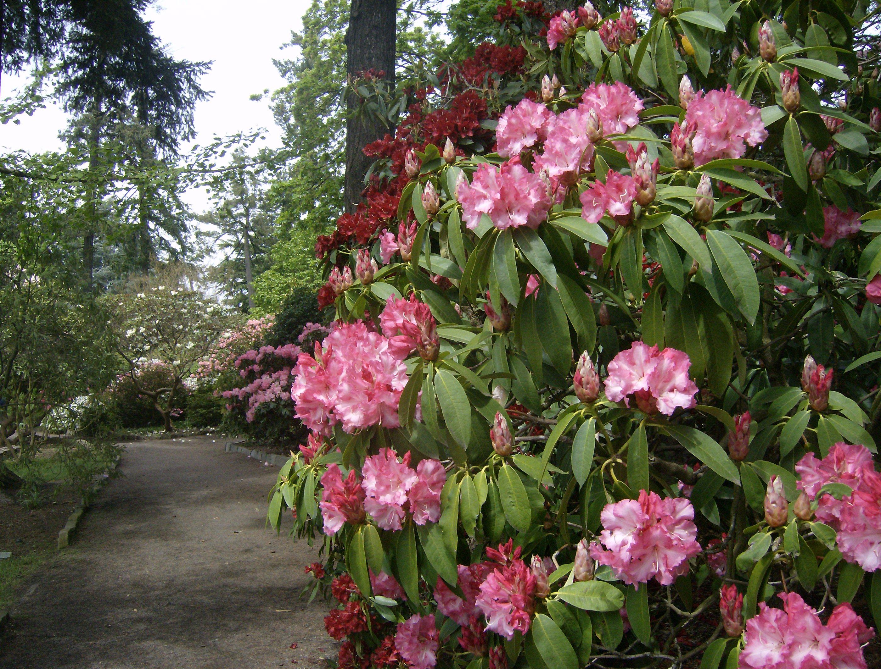 Crystal springs rhododendron garden steve snedeker s landscaping and gardening blog for Crystal springs rhododendron garden