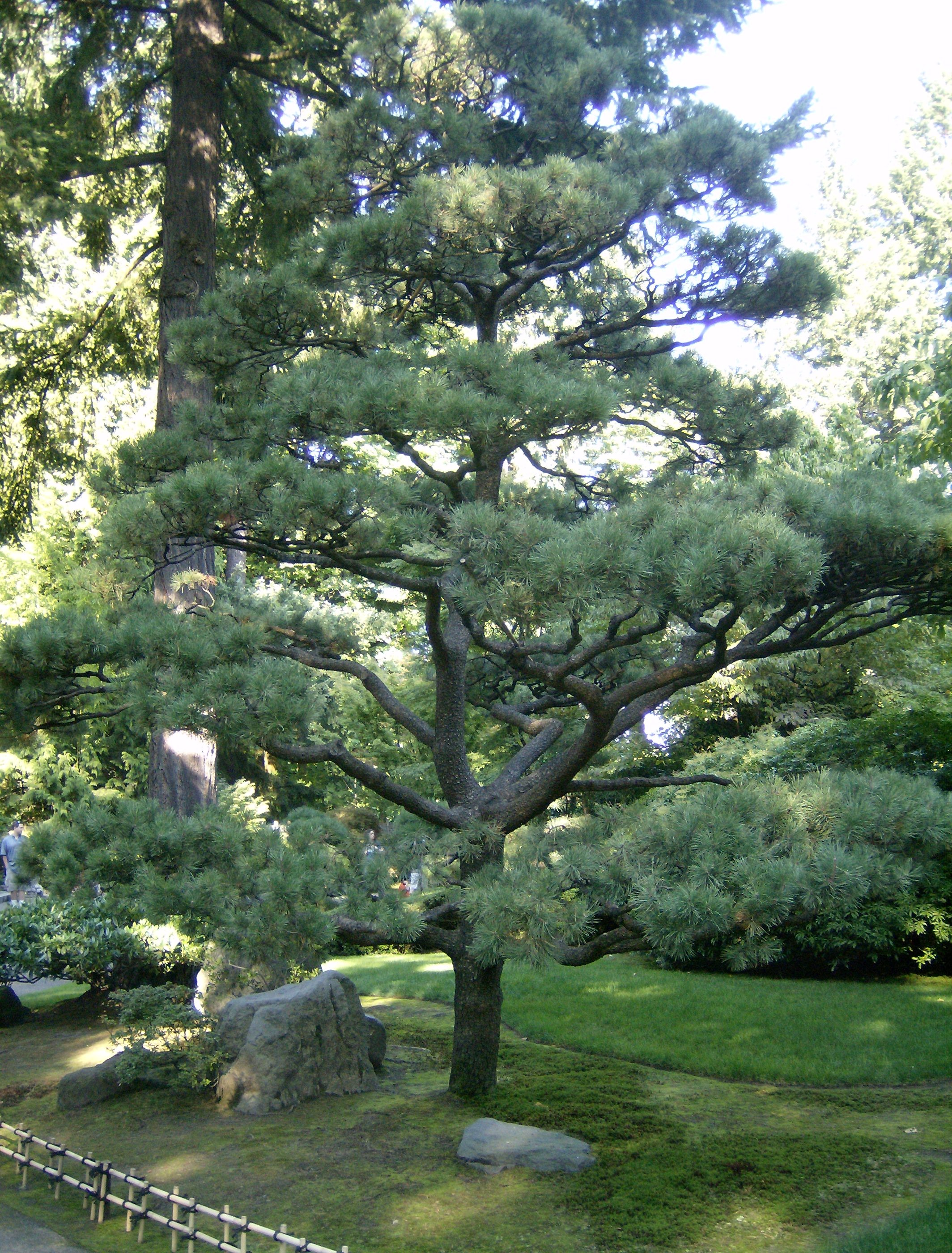 Japanese garden steve snedeker s landscaping and for Garden trees types