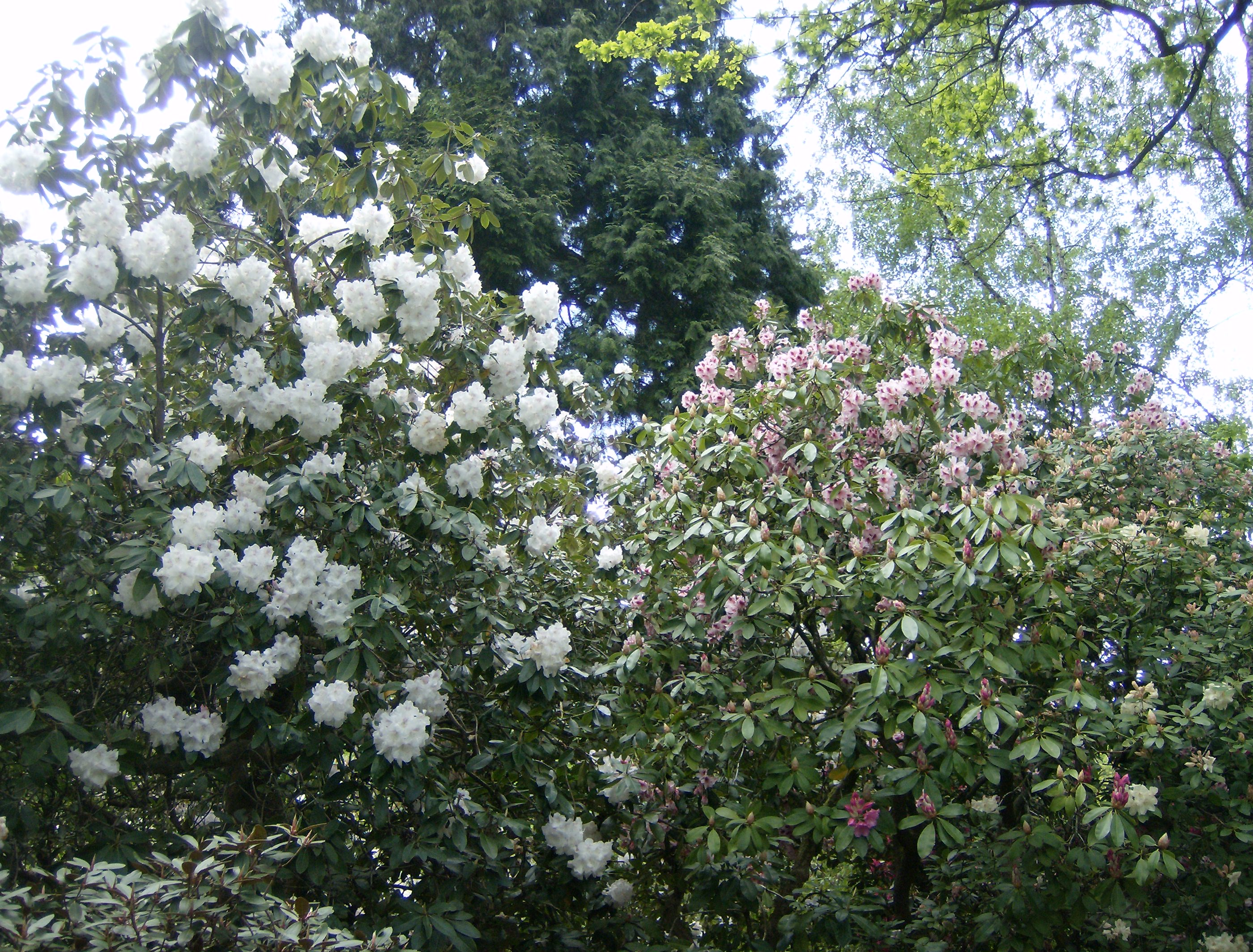 Amazing Rhododendrons Part 2 Of Crystal Springs Rhododendron Garden Steve Snedeker S
