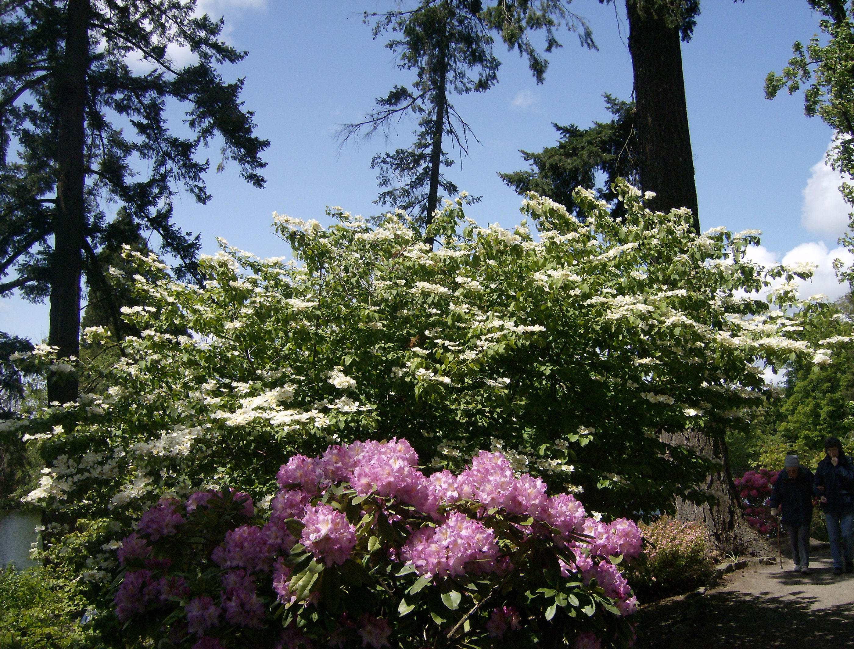 Amazing Rhododendrons – Part 2 of Crystal Springs Rhododendron ...