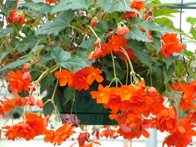 Begonia Illumination Orange HBK