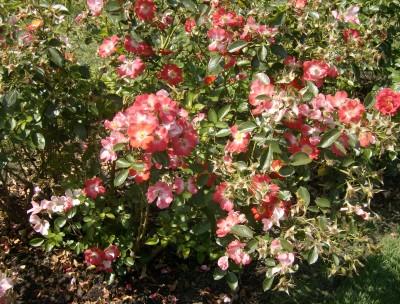 Rose Garden 037