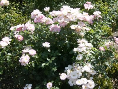 Rose Garden 003