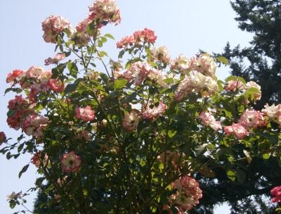 Rose Garden 018