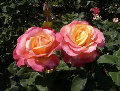 Rose Garden 020
