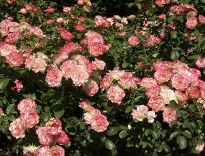 Rose Garden 025