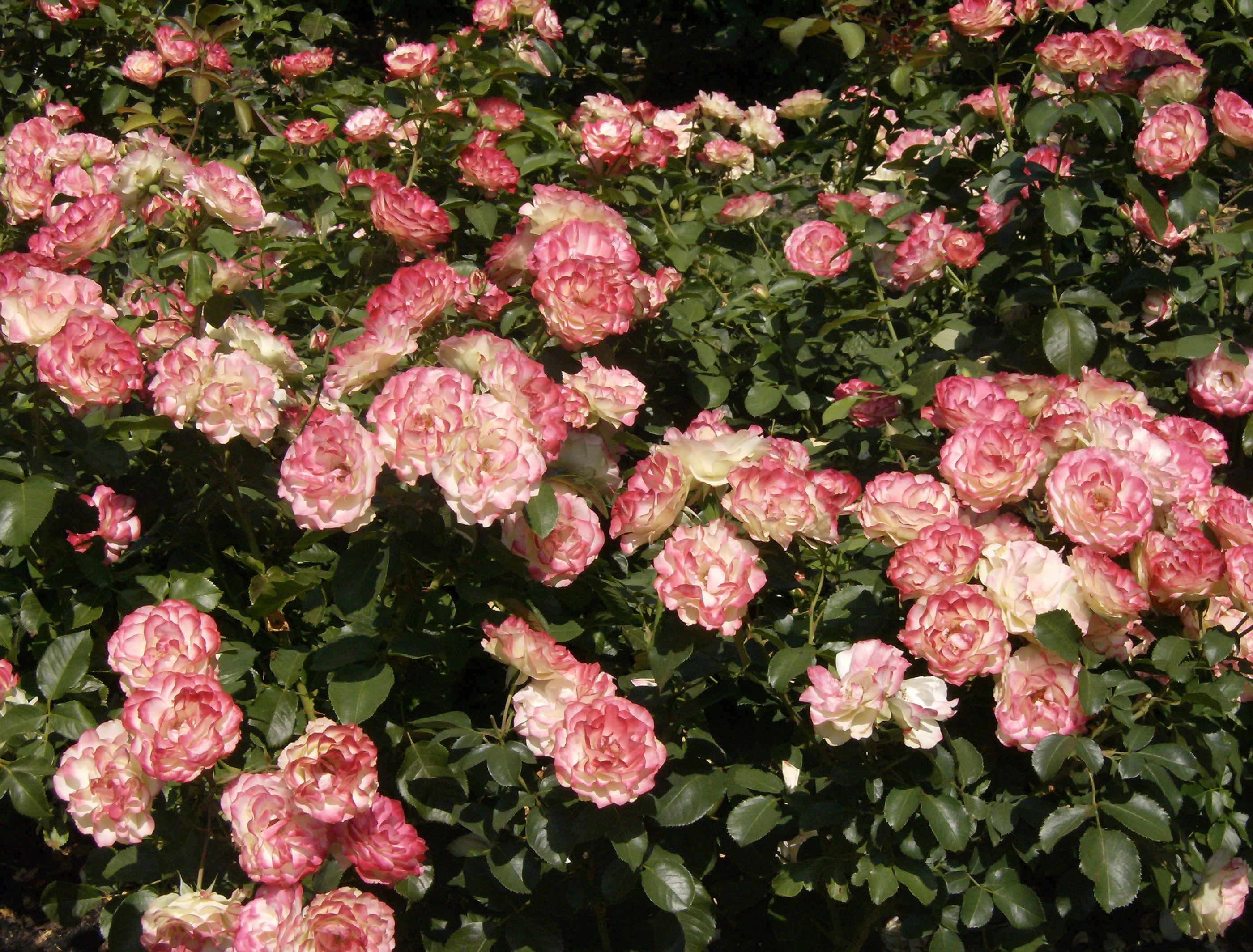 Roses i have enjoyed steve snedeker s landscaping and for Rose garden designs for small yard