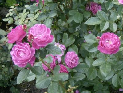 Rose Garden 046