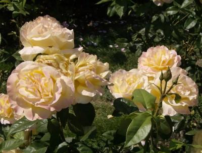 Rose Garden 049