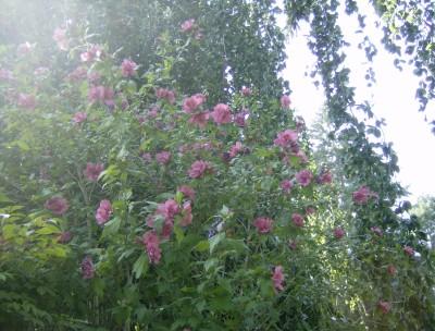 Rose Garden 061