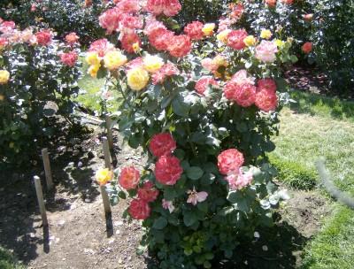 Rose Garden 077