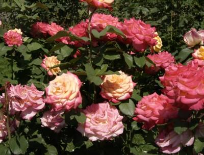 Rose Garden 086