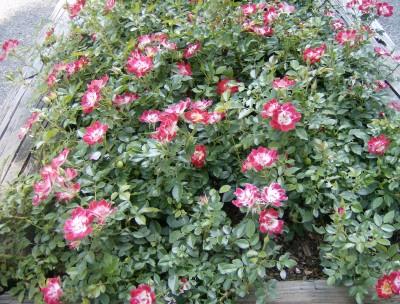 Rose Garden 099