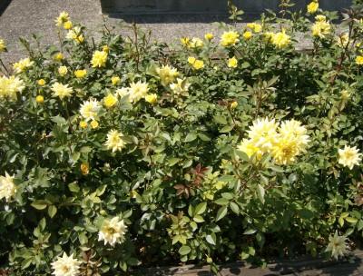 Rose Garden 100