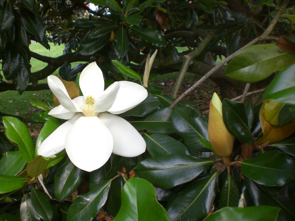 The Southern Magnolia Louisville Steve Snedekers Landscaping