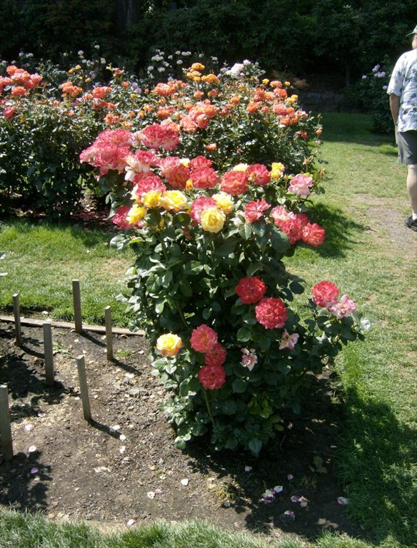 Rose Garden 041