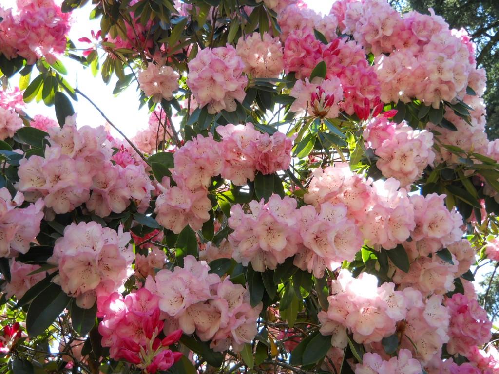 Crystal Springs Rhododendron Garden Steve Snedekers